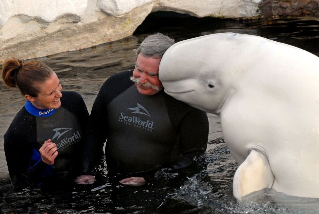 An unforgettable Father's Day with a Beluga Whale at SeaWorld.