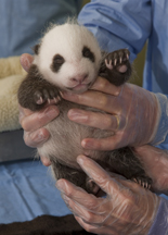 Giant Panda Cub with Milk Moustache at San Diego Zoo