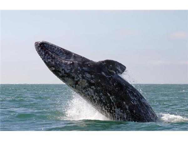 California gray whale breaching off the San Diego coast