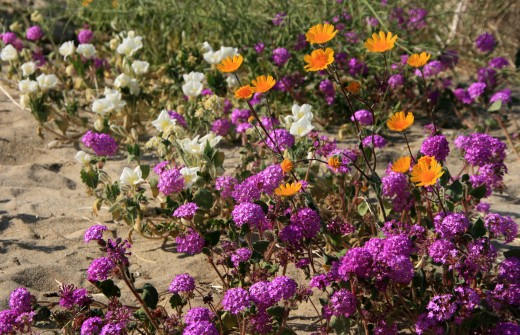 Borrego Springs Desert Wildflowers