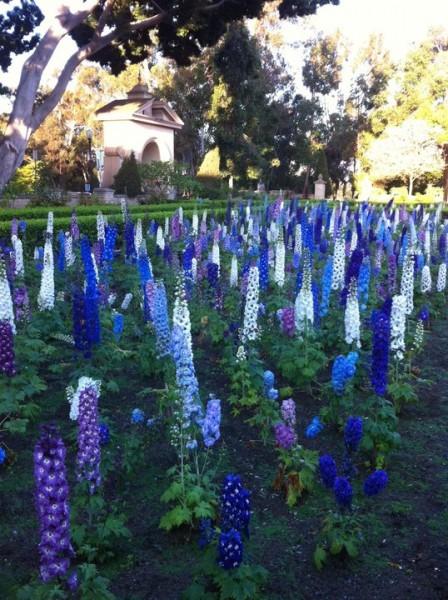 Delphiniums in Balboa Park's Alcazar Garden