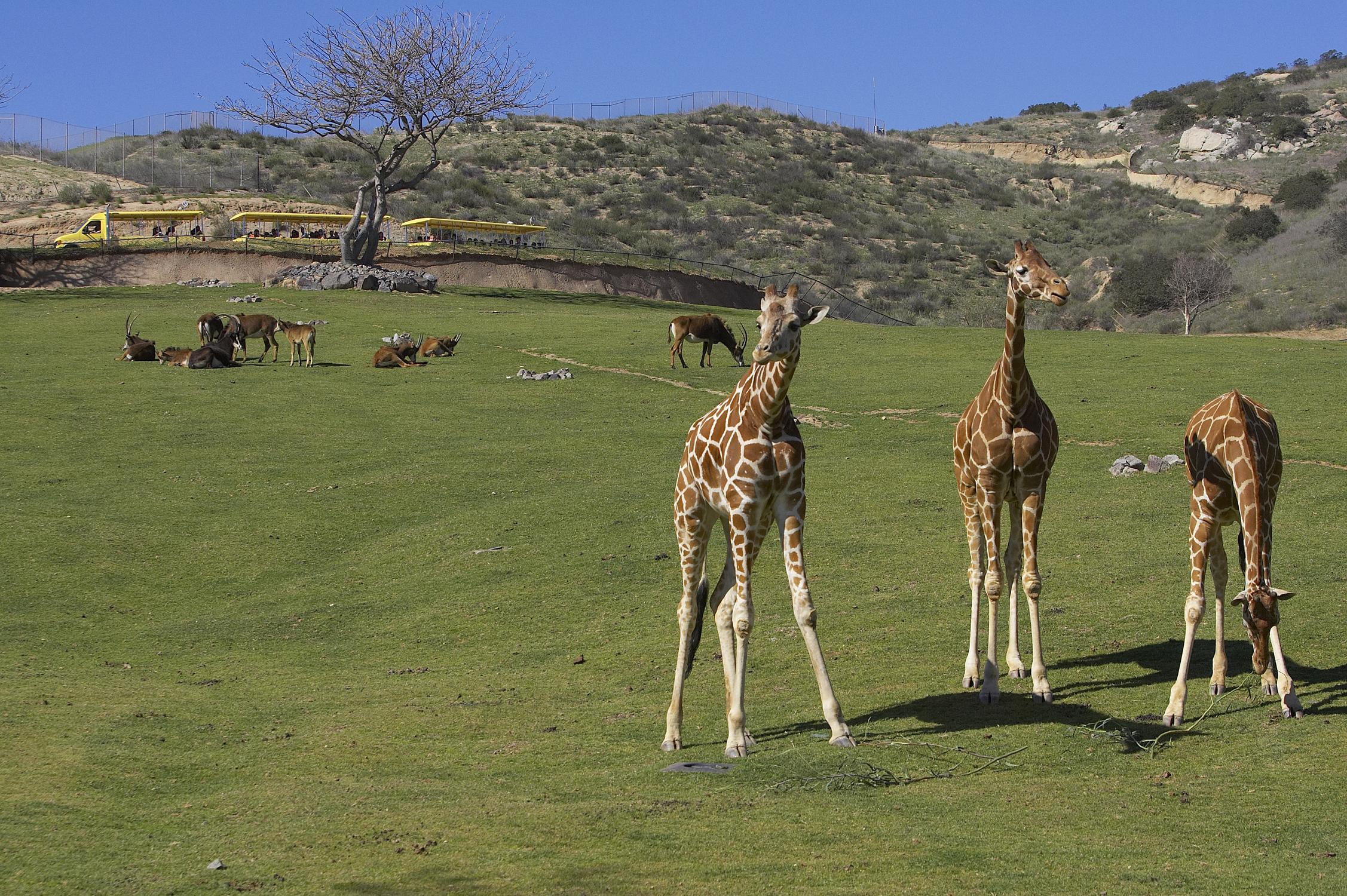 Giraffes along a Africa Tram Safari - San Diego Zoo Safari Park