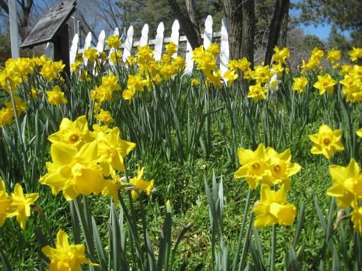 Julian Daffodils