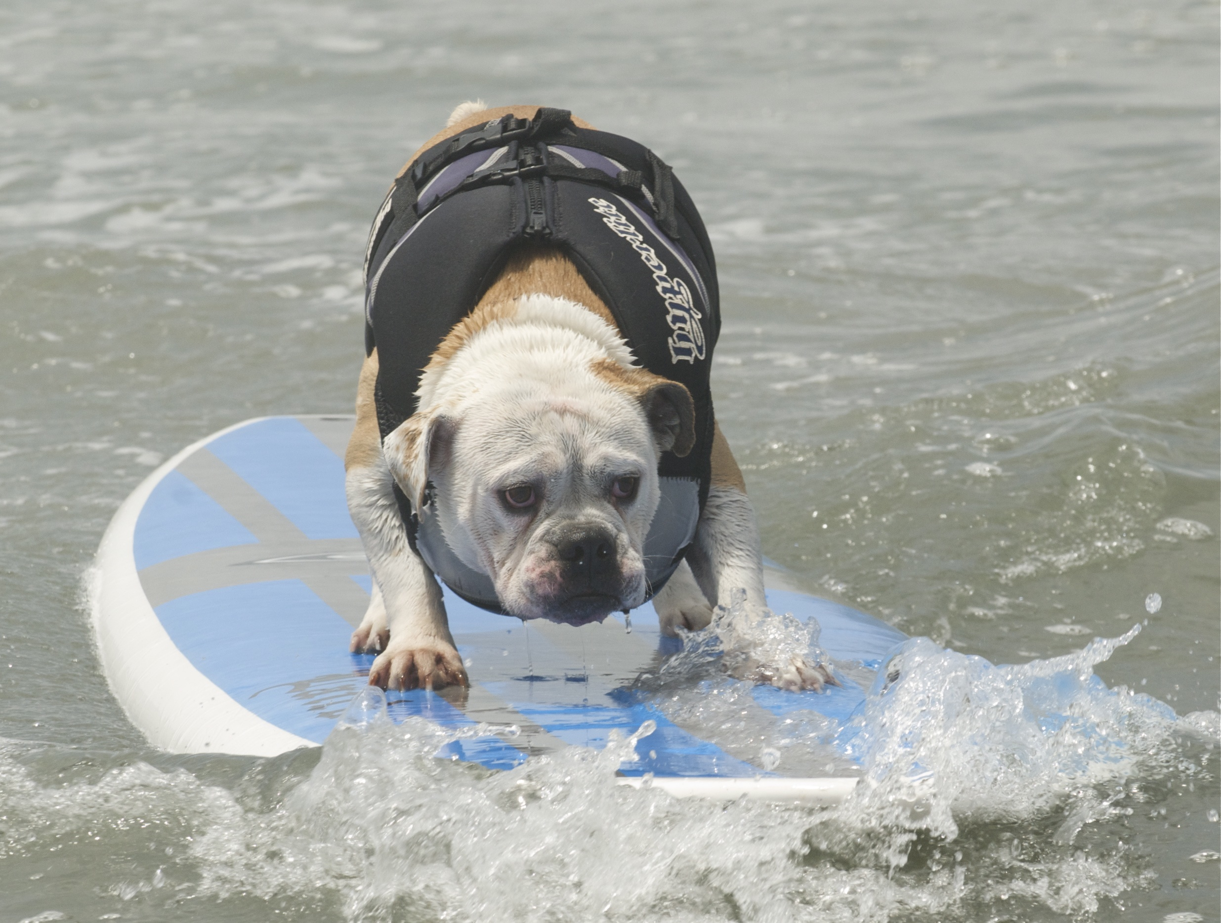 Top dog at Loews Coronado Surf Dog Competition!