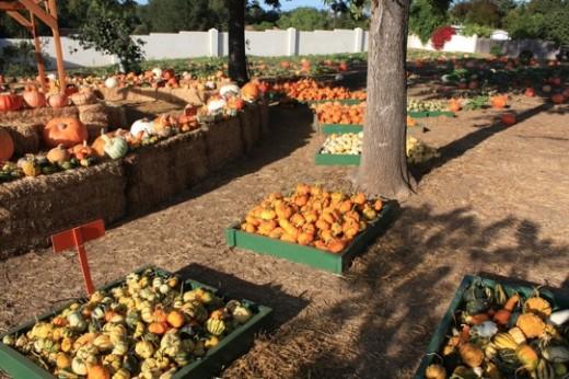 Pumpkins at Lavender Hill Pumpkins