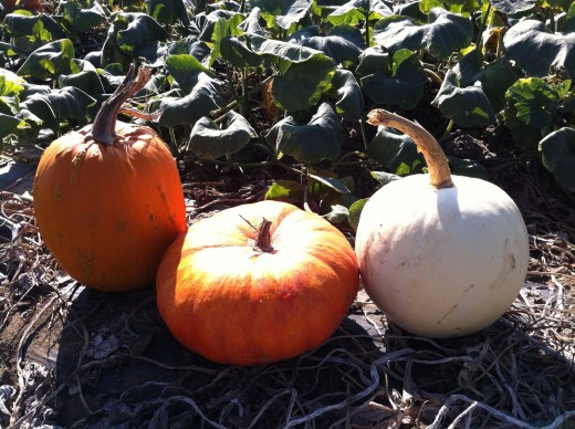 Pumpkins - Suzie's Farm Pumpkin Palooza