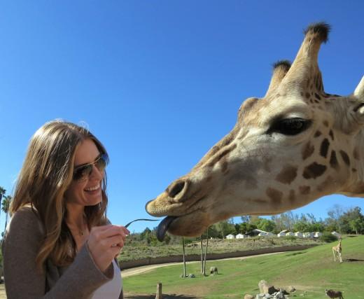 Feeding a Giraffe - Caravan Safari - San Diego Zoo Safari Park