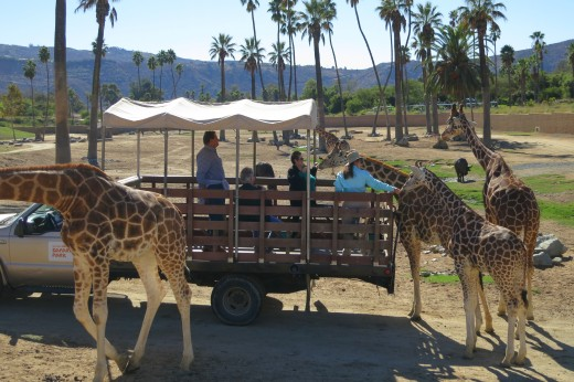 Giraffes - Caravan Safari - San Diego Zoo Safari Park