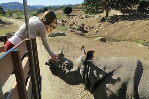 Petting a Rhino - Caravan Safari - San Diego Zoo Safari Park