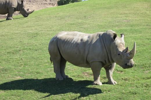 White Rhino - Caravan Safari - San Diego Zoo Safari Park