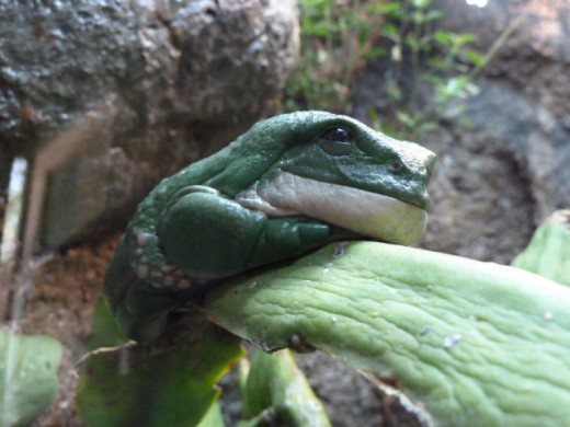 Reptile Walk - Mexican Giant Tree Frog