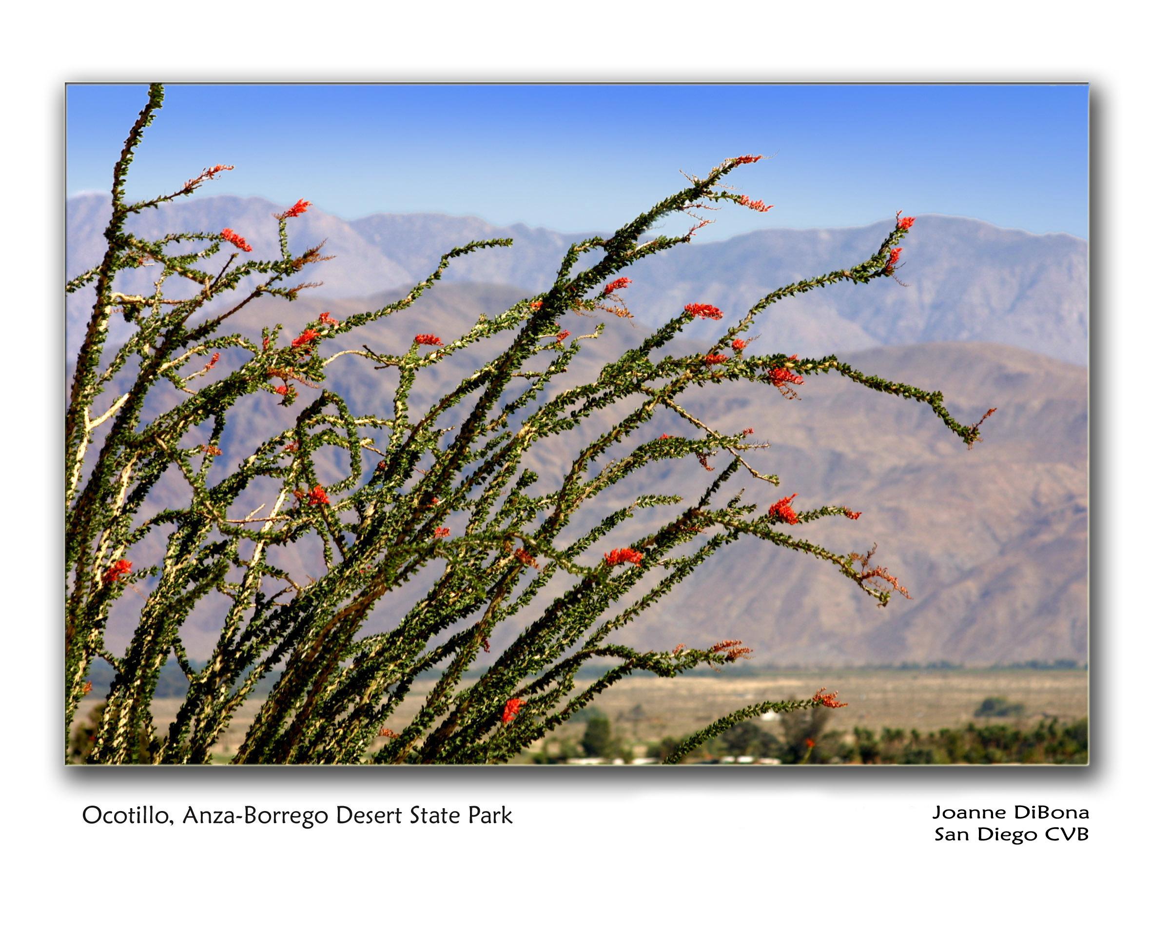 Ocotillo Anza-Borrego Desert State Park