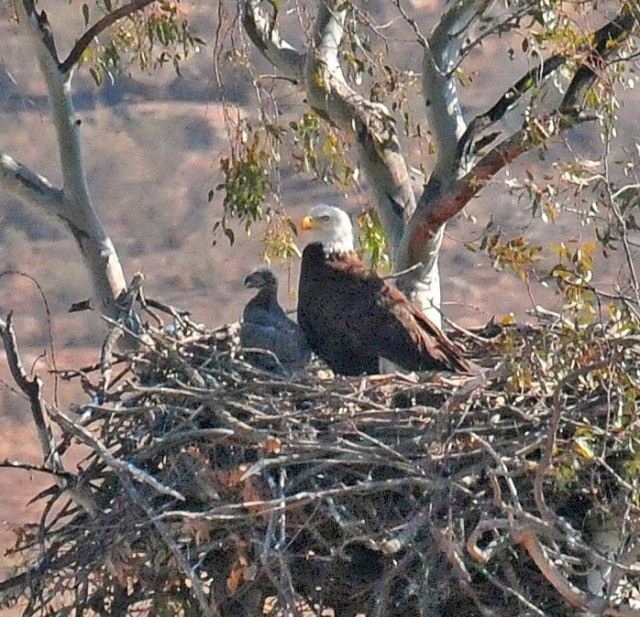 Bald Eagle and Chick - Wildlife Research Institute - East County