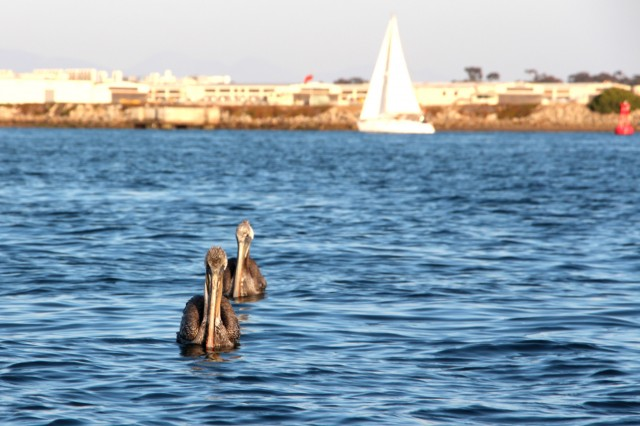 Wildlife in San Diego Bay