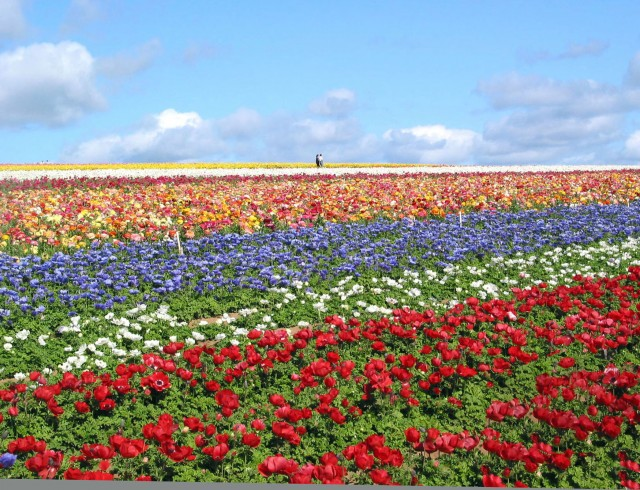 The Carlsbad Flower Fields