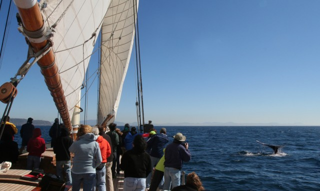 Whalewatching from The America Yacht, San Diego