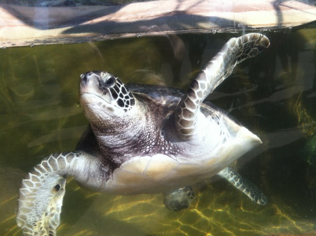 See sea turtles up close at Living Coast Discovery Center.