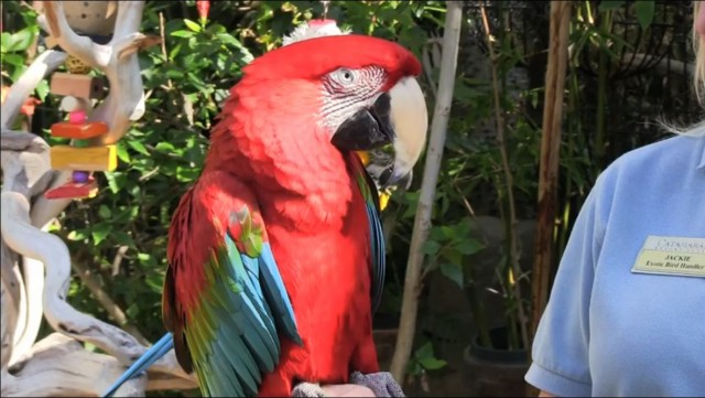 Meet a parrot named Cornell at Catamaran Resort!