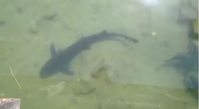 ...leopard sharks!