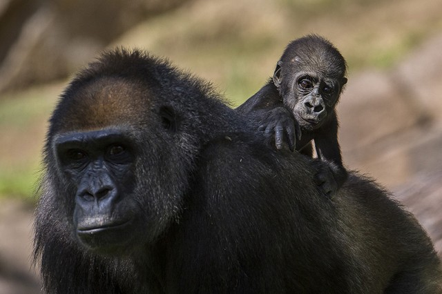Baby gorilla at San Diego Zoo Safari Park enjoys the ride. Photo courtesy Ken Bohn.