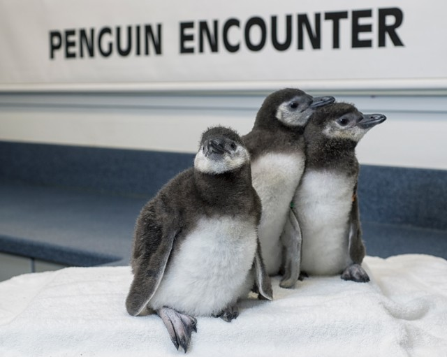 SeaWorld San Diego recently celebrated the hatching of three Magellanic penguin chicks, one of which was conceived through artificial insemination. Courtesy Mike Aguilere/SeaWorld San Diego.