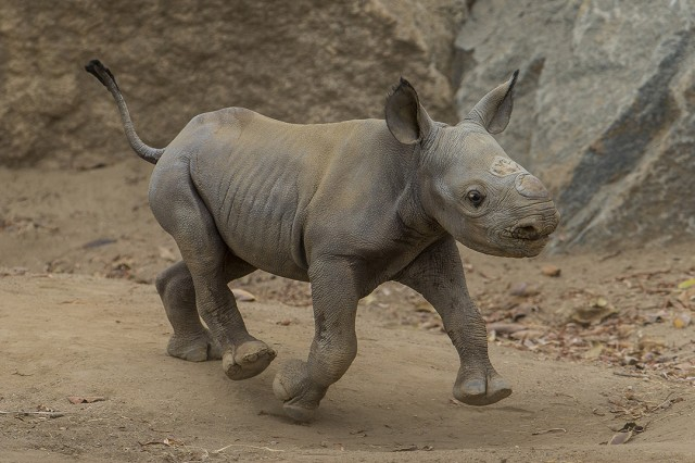Black rhino baby takes charge at San Diego Zoo Safari Park courtesy Ken Bohn.