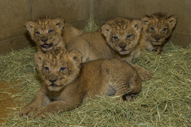 Lion cubs born June 22, 2014, courtesy Ken Bohn San Diego Zoo Safari Park