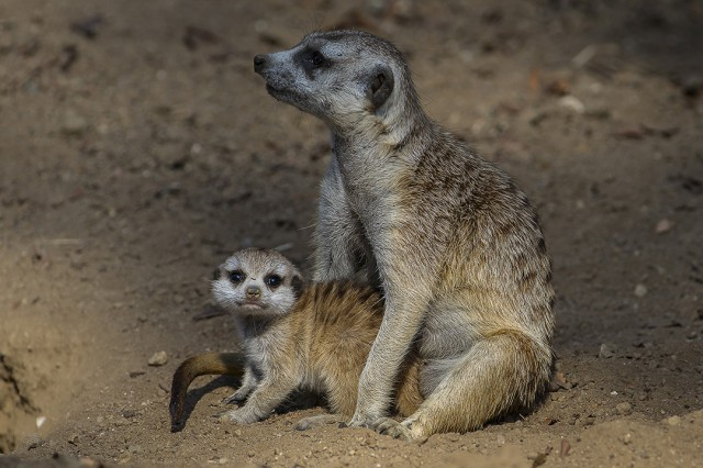 A Southwest African meerkat pup is carefully watched over by its mother. Photo courtesy Ken Bohn at the San Diego Zoo.