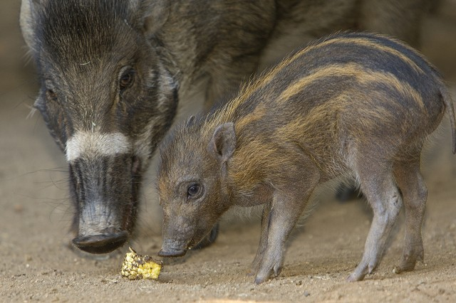 This critically endangered Visayan Warty piglet was born at San Diego Zoo in a successful breeding program that has produced 80 piglets since 2002. Courtesy Tammy Spratt, San Diego Zoo. - Baby Animals
