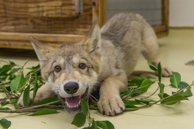 Wolf pup is eager to play courtesy Ken Bohn, San Diego Zoo.