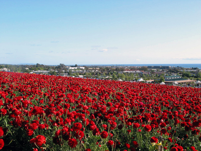 Carlsbad Flower Fields Red Carnations -Courtesy SanDiego.org