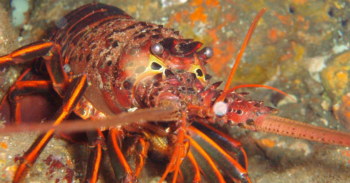 2015 lobster season california 2015 lobster season for Lobster fishing san diego