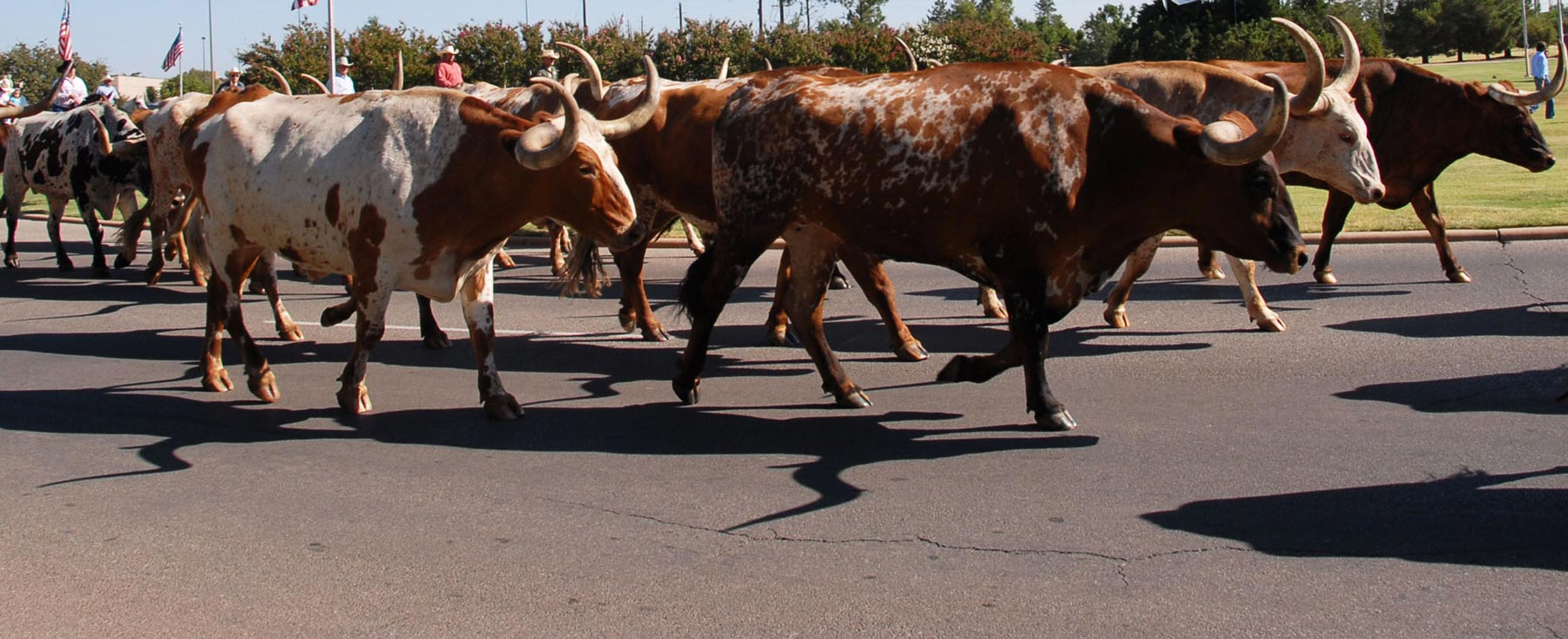 San Diego County Fair Cattle Drive