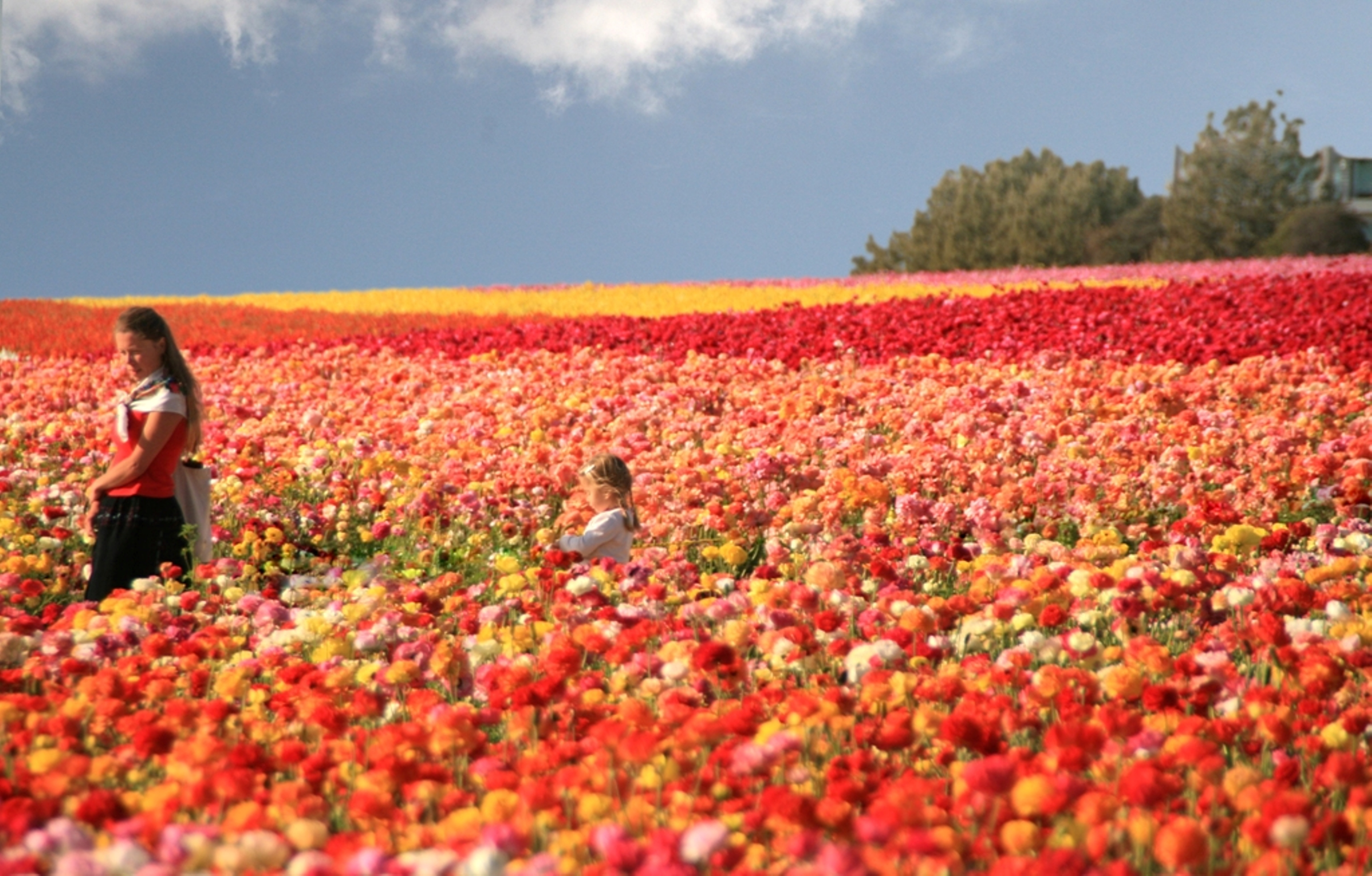 The Flower Fields of Carlsbad Ranch - Top Things to Do in San Diego