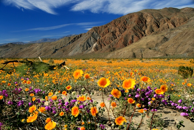 Anza-Boreggo Desert State Park Wildflowers