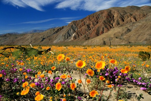 Anza-Borrego Desert Wildflower Season