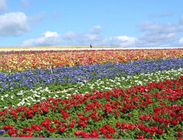 The Carlsbad Flower Fields