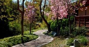 japanese friendship garden cherry blossom