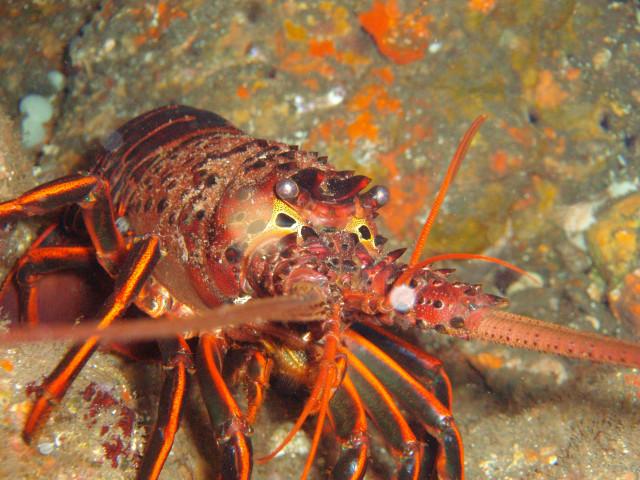 California Spiny Lobster during Lobster Season