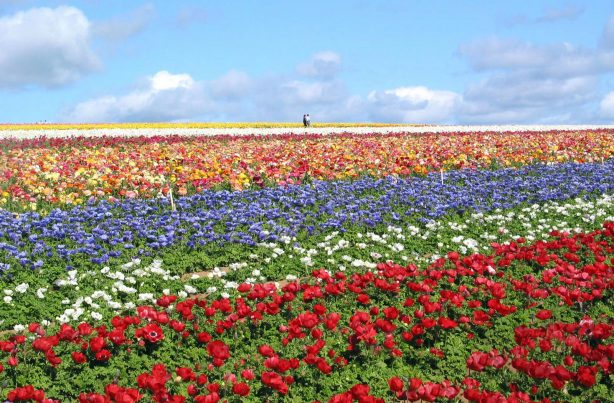 The Flower Fields - Top Things to Do in San Diego