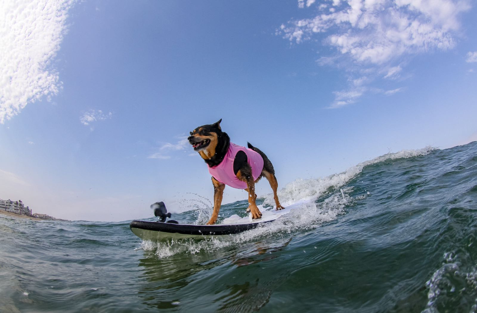 Dog on a Surfboard - Top Things to Do in San Diego