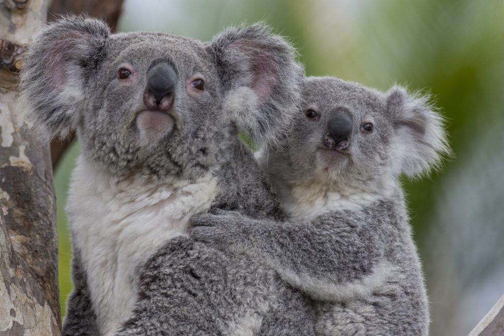 Koalas | Australian Outback at the San Diego Zoo