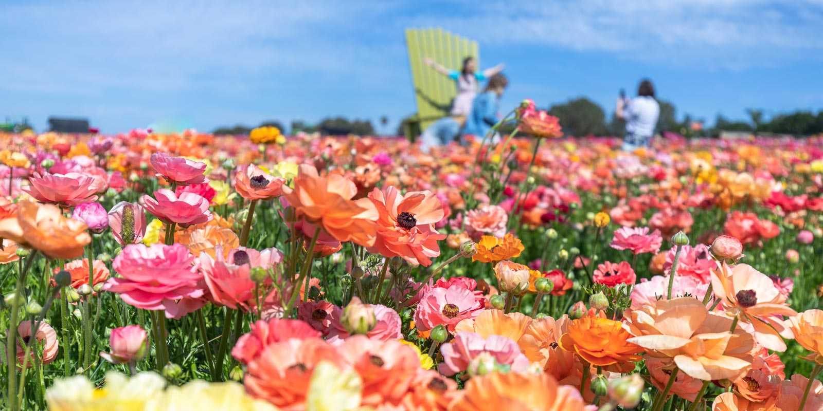 The Flower Fields at Carlsbad Ranch | New and Now this Spring in San Diego